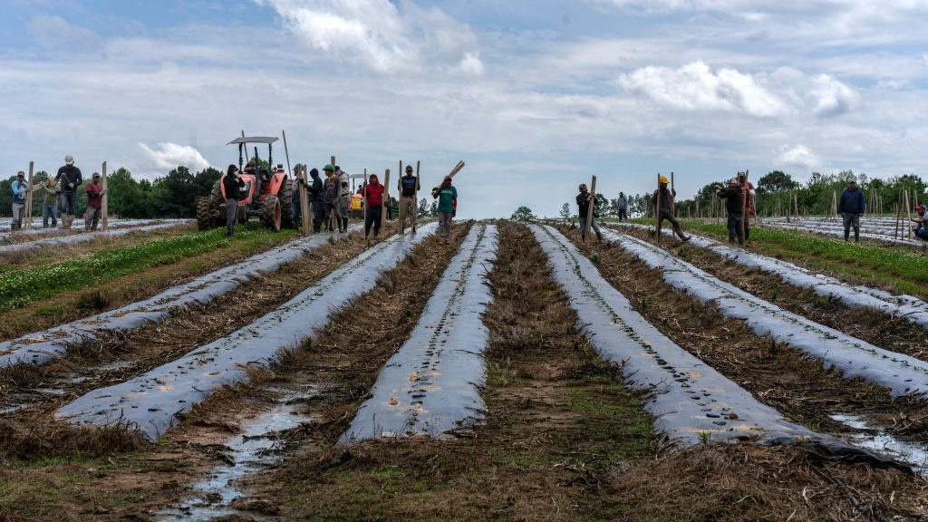 Mexican migrant workers in the tomato fields at Henderson Farm, Rhea County. (Photo: John Partipilo)