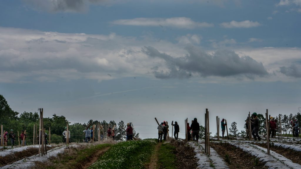 Migrant workers place stakes for tomato plants at a commercial farm in East Tennessee. (Photo: John Partipilo for the Tennessee Lookout)