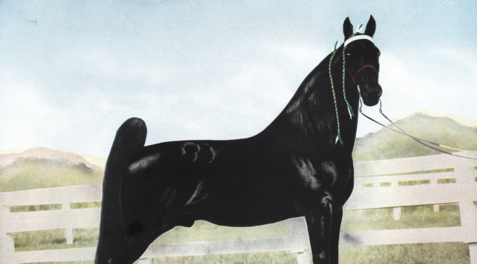Two-time World Grand Championship Tennessee Walking Horse Midnight Sun. (Photo: VisitFranklin.com)