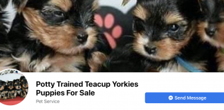 One of many Facebook pages advertising sale of Teacup Yorkshire terriers.