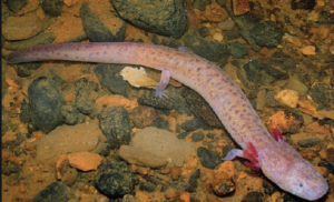 The Tennessee State Salamander, the cave salamander. Should it be on the same level as the Bible, asks one state leader? (Photo: tn.gov)