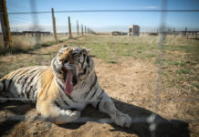 KEENESBURG, CO - April 5, 2020: One of the 39 tigers rescued in 2017 from Joe Exotic's G.W. Exotic Animal Park yawns while relaxing at the Wild Animal Sanctuary on April 5, 2020 in Keenesburg, Colorado. Exotic, star of the wildly successful Netflix docu-series Tiger King, is currently in prison for a murder-for-hire plot and surrendered some of his animals to the Wild Animal Sanctuary. The Sanctuary cares for some 550 animals on two expansive reserves in Colorado. (Photo by Marc Piscotty/Getty Images)